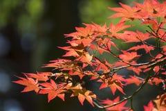 Rot-Blätter im Herbst stockfotografie