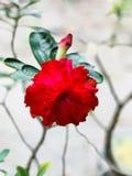 Rot blühen faszinierend lizenzfreie stockbilder