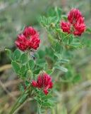 Rot-blüht allgemeines Nieren-Wickenfeld, das rote Nierenwicken-Betriebsfeld, das in Malta, Blume, purpurroter Klee populär ist, r Stockfotos