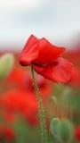 Rot blüht Mohnblumen Stockbild