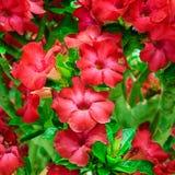 Rot blüht Wüstenrose- oder Impalalilie Lizenzfreie Stockfotos