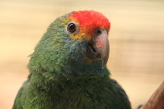 Rot-browed Amazonas Stockbilder