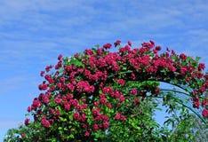Rot-Burgunder-Klematis auf blauem Himmel Stockfotografie