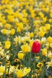 Rot in den gelben Tulpen - ungerades heraus Lizenzfreie Stockfotos