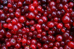 Rot des hölzernen Sauerampfers der Beere stockfotos