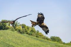 2 Rot-Drachen Milvus-milvus Fliegen im Himmel Lizenzfreies Stockbild