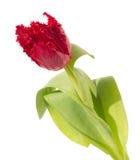 Rot eingesäumte Tulpe Lizenzfreies Stockbild
