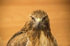 Rot-Endstück Falke, der Sie betrachtet stockbilder