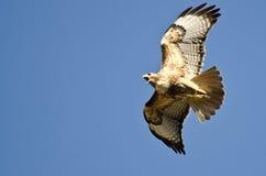 Rot-Endstück Hawk Flying in einem blauen Himmel Lizenzfreies Stockfoto