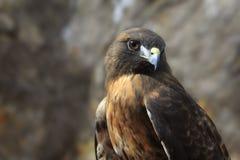 Rot-Endstück Hawk Portrait Lizenzfreie Stockfotos