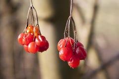 Rot farbige Beeren lizenzfreie stockbilder