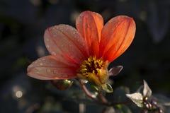 Rot farbige einzelne Dahlienblume mit vier öffnete die Blumenblätter, die mit Wassertropfen bedeckt wurden stockbilder