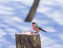 Rot-farbiger Mann des Eurasier-Bullfinch-Pyrrhula Pyrrhula-Nahaufnahmeporträts am Stummel mit Erdnüssen und Samen lizenzfreie stockbilder