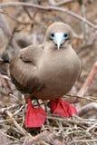 Rot-füßiger Dummkopf, Galapagos Lizenzfreies Stockfoto