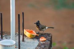 Rot gelüfteter Bulbul, der Papaya isst Stockbilder