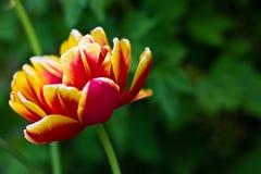 Rot-gelbe Blumentulpe Stockfotografie