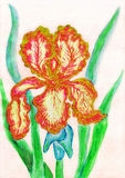 Rot-gelbe Iris, malend Lizenzfreie Stockfotos