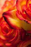 Rot-gelbe Rosen Makro stockbilder