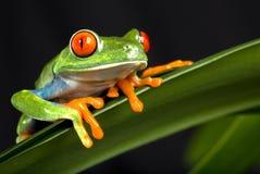 Rot gemusterter Baum-Frosch Lizenzfreies Stockfoto