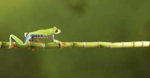 Rot gemusterter Baum-Frosch auf Bambus Lizenzfreie Stockfotos