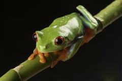Rot gemusterter Baum-Frosch auf Bambus Lizenzfreie Stockbilder