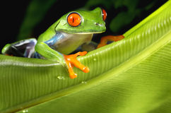 Rot gemusterter Baum-Frosch auf grünem Blatt Lizenzfreies Stockbild