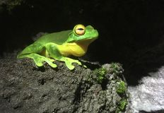 Rot gemusterter Baum-Frosch in einem Regenwald Lizenzfreie Stockbilder