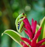 Rot gemusterter Baumfrosch auf einer Blume stockfoto