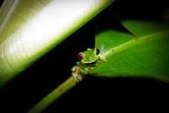 Rot gemustertes treefrog Lizenzfreie Stockfotos
