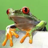Rot gemustertes treefrog Makro lokalisiert Lizenzfreie Stockfotografie