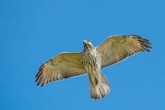 Rot-geschulterter Falke Stockfotos
