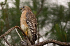 Rot-geschulterter Falke (Buneo lineatus) Lizenzfreies Stockbild