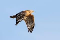 Rot-geschulterter Falke im Flug - Florida Lizenzfreies Stockfoto