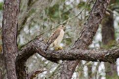 Rot-geschulterter Falke in Okefenokee-Sumpf Stockbild