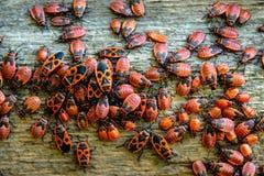 Rot hört die Kolonie ab, die auf dem Bretterzaun während des Sommertages gelegen ist stockfoto