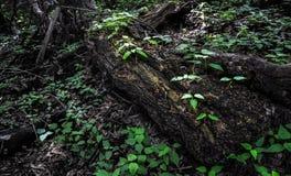 Rot houten logboek, volkomen gevallen die boom met spruiten van jonge bomen in schaduw van donker bos wordt overwoekerd Stock Afbeelding