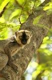 Rot-konfrontierter brauner Lemur Stockfotografie