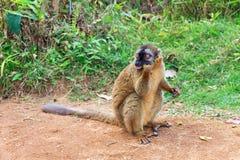 Rot-konfrontierter brauner Lemur Stockfoto