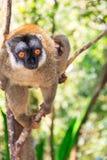 Rot-konfrontierter brauner Lemur Stockbild