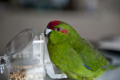 Rot-konfrontierter Kakariki Parakeet Stockfotografie