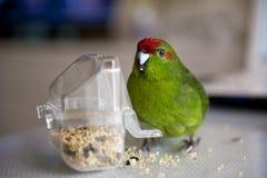 Rot-konfrontierter Kakariki Parakeet Stockfotos