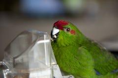 Rot-konfrontierter Kakariki Parakeet Lizenzfreies Stockbild