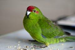 Rot-konfrontierter Kakariki Parakeet Stockbild