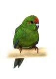 Rot-konfrontierter Kakariki Parakeet auf Weiß Lizenzfreie Stockfotos