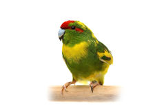 Rot-konfrontierter Kakariki Parakeet auf Weiß Stockbilder