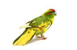Rot-konfrontierter Kakariki Parakeet auf Weiß Stockbild