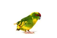 Rot-konfrontierter Kakariki Parakeet (Cyanoramphus novaez Lizenzfreie Stockfotografie