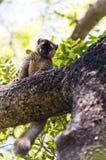 Rot-konfrontierter Lemur madagaskar Stockbilder