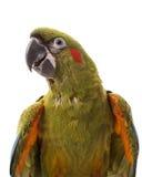 Rot-konfrontierter Macaw Stockbild