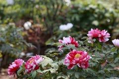 Rot mit den weißen Pfingstrosenblumenblättern Lizenzfreie Stockfotos